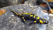 Saucy Salamander