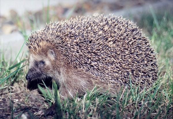 Маскот Ubuntu Hoary Hedgehog 5.04