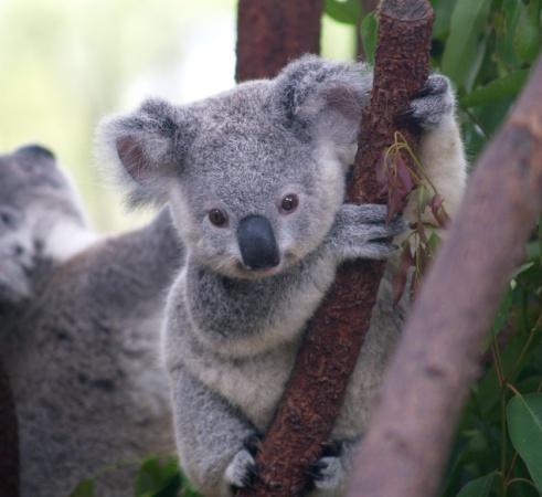 Маскот Ubuntu Karmic Koala 9.10
