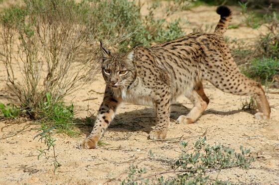 Маскот Ubuntu 10.04 Lucid Lynx