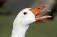 язык птиц