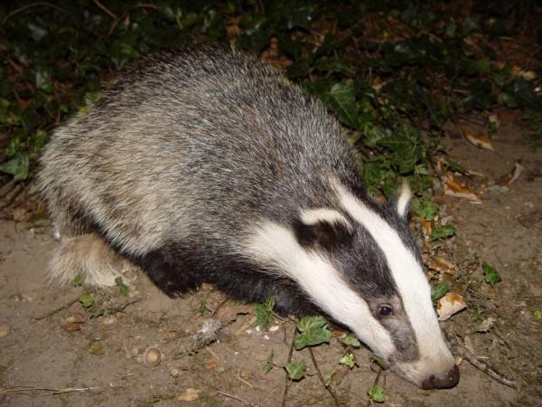 Маскот Ubuntu 5.10 Breezy Badger